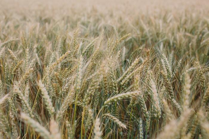 wheatfields-in-vienna