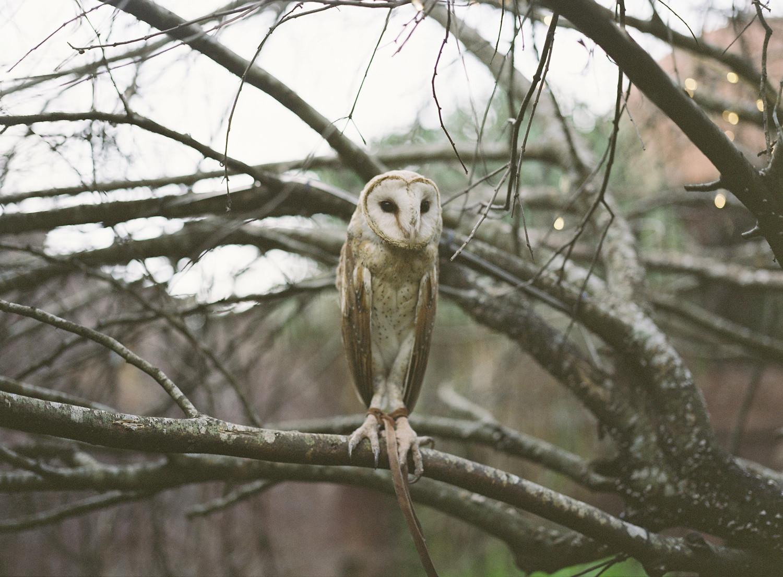 barn owl in bali