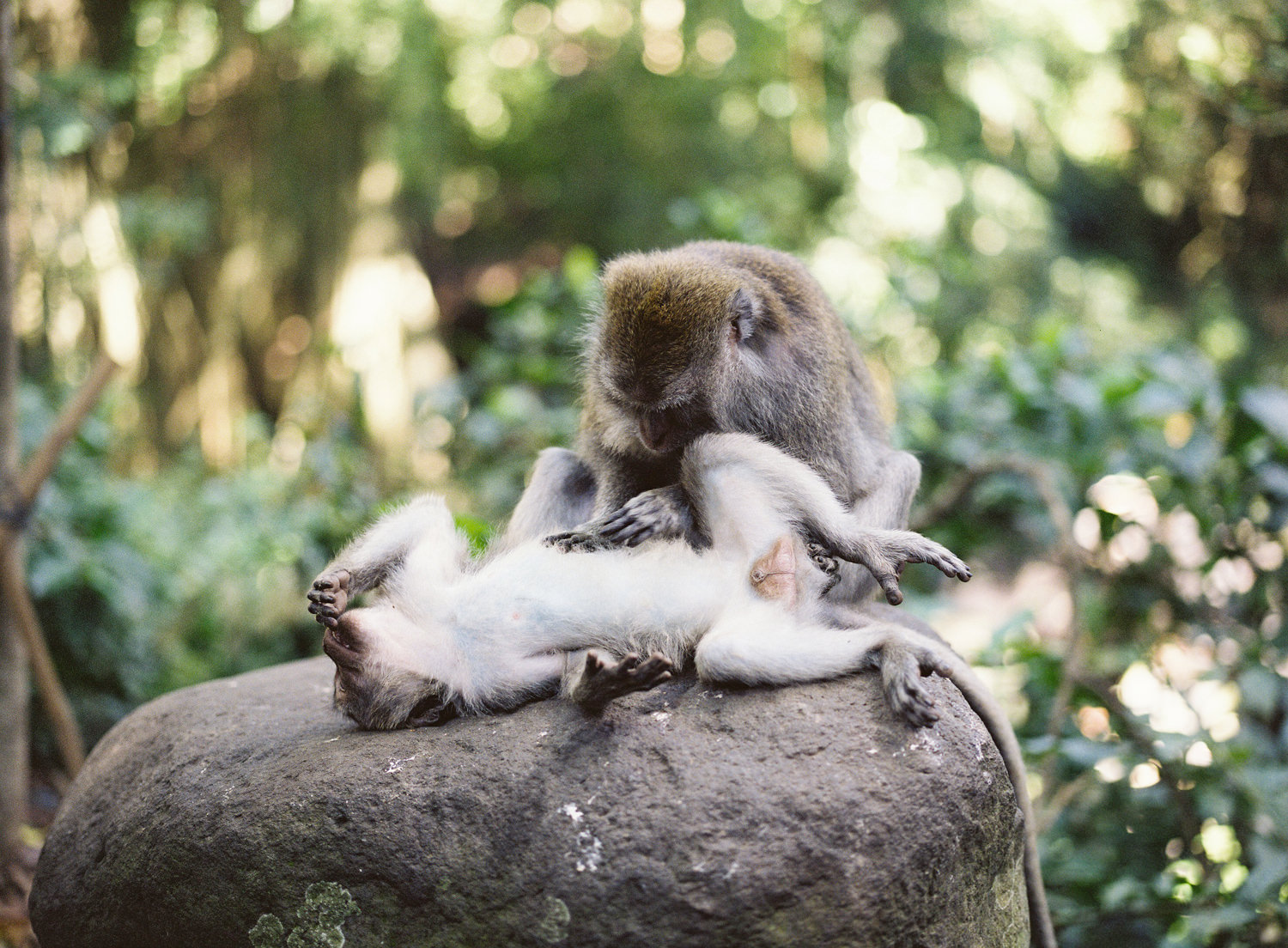 native monkeys in the monkey forest