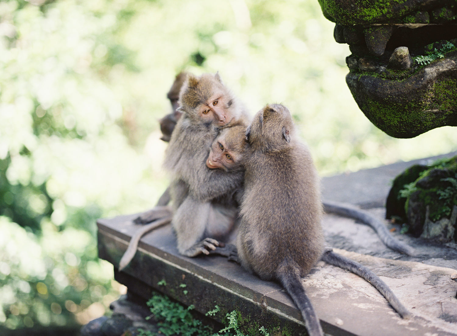 monkeys having fun together in ubud