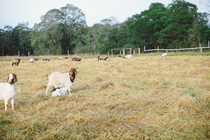 baby-goats-engagement-photography