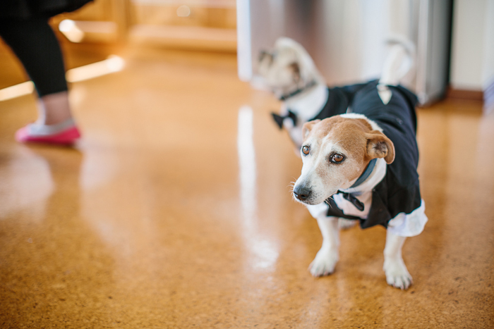 dapper-dog-dressed-for-wedding-in-sydney