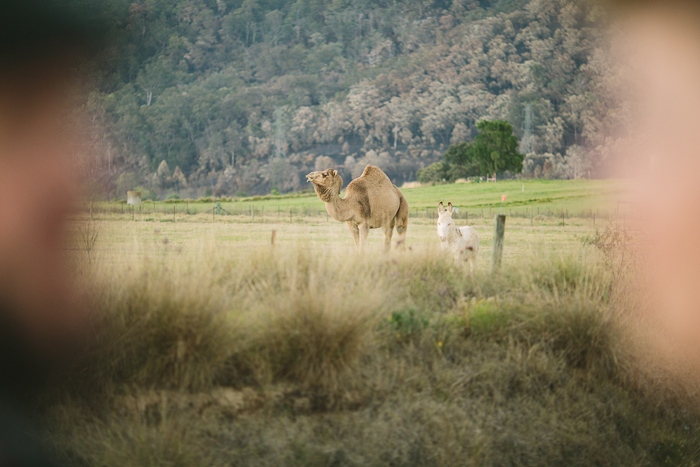 camel-wedding-photos