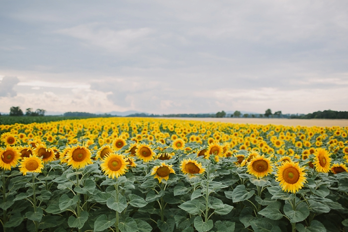 sunflower-field-in-vienna