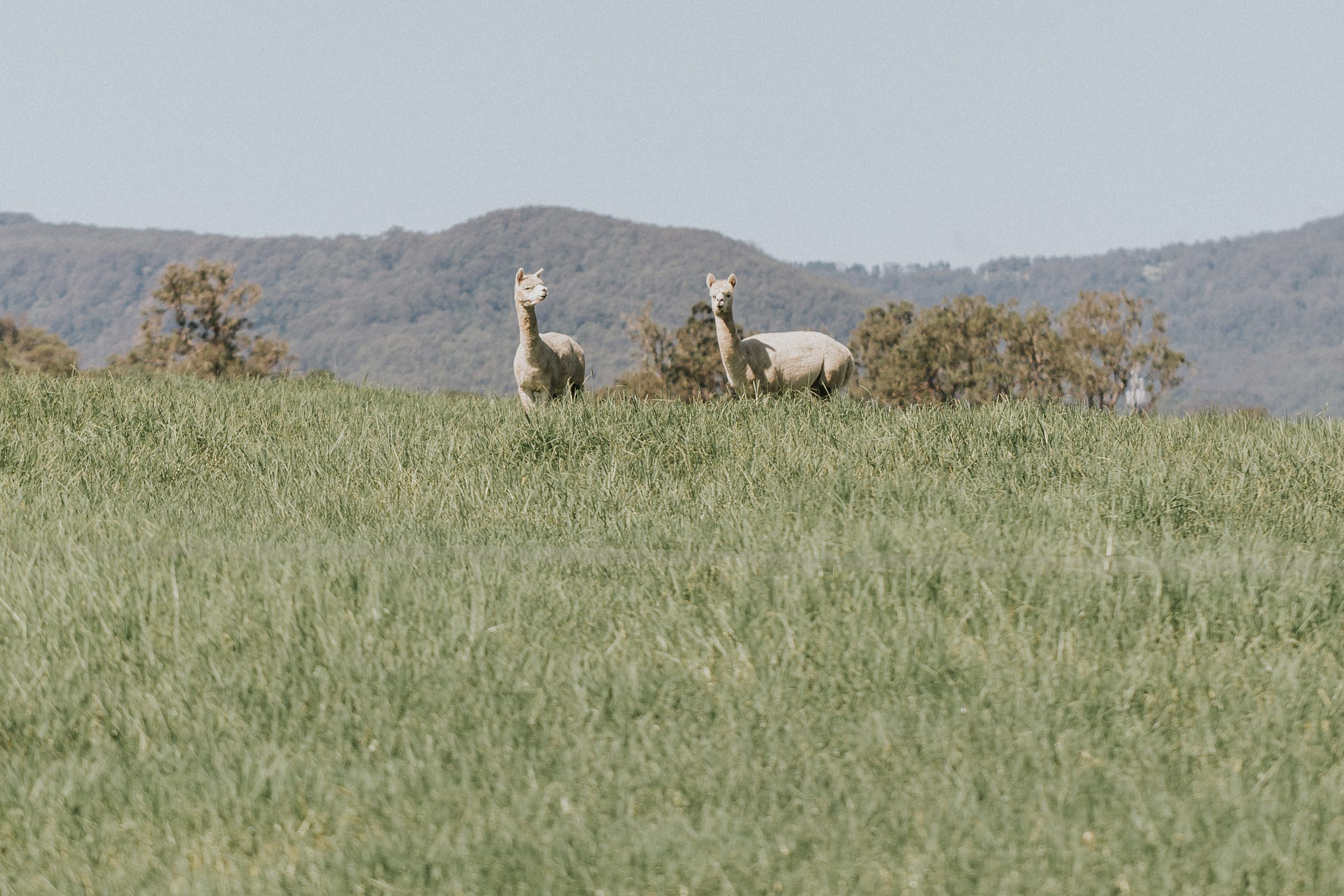 alpacas in kangaroo valley on wedding day